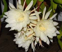 my night blooming cereus last night it only blooms once a year