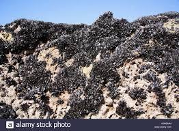 edible rocks common edible mussel mytilus edulis clinging to rocks on sea shore