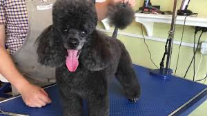 poodles long hair in winter poodle cut for winter wen s dog grooming salon youtube
