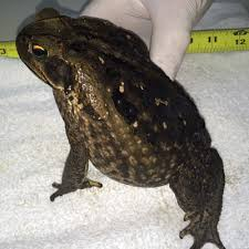 How To Get Rid Of Cane Toads In Backyard Bufo Toad Giant Killer Toads Invade So Fl Threaten Your Pet