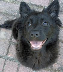 belgian sheepdog lab mix mochi the mixed breed puppies daily puppy