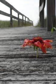 mary and williams bridge carolina beach north carolina flower
