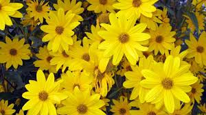 flowers colour nature bright natural yellow lovely flowers spring