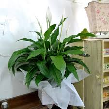 Peace Lily Plant Peace Lily Plant