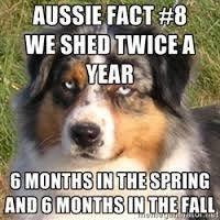 australian shepherd shedding best 25 do australian shepherds shed ideas only on pinterest