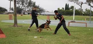 belgian shepherd how to train dog protection sandlot k9