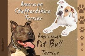 american pitbull terrier vs siberian husky personality traits of the intelligent siberian husky pit bull mix