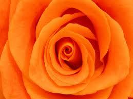colors of orange rose color orange roses orange by the bunch