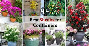 Top Flowering Shrubs - 44 best shrubs for containers best container gardening plants