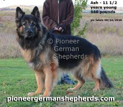 belgian sheepdog vs german shepherd long coat german shepherds puppies for sale breeders of