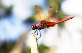 dragonfly totem spirit meaning