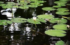 Lotus Flower In Muddy Water - seasons 07 japanese calligraphy workshop for july aug 蓮葉