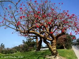 blooming trees in la jolla california