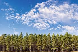 pine tree potential biomassmagazine