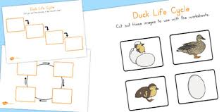 life cycle worksheets australia duck life cycle cycle