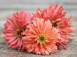 Zinnias Flowers Pink Senorita Zinnia Seeds Baker Creek Heirloom Seeds