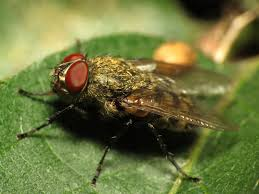 cluster fly facts u0026 control how to get rid of cluster flies