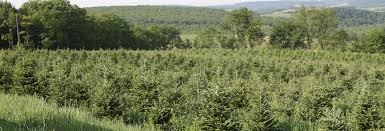 brown u0027s tree farm muncy pa 17756 yp com