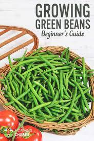 best 25 growing green beans ideas on pinterest planting green