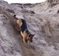 belgian shepherd quebec 119 best images about german shepherd on pinterest german
