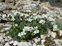 arabis androsacea north american rock garden society