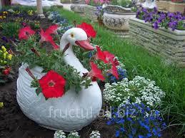 Flowers For Sale Flori Pentru Gradina Flowers For A Garden For Sale In Trushen On