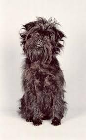 affenpinscher coat type affenpinscher breed of dog britannica com