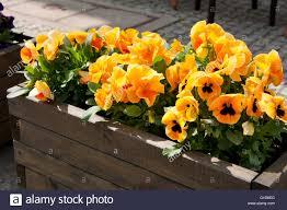 abloom pansies exterior decoration flowering orange yellow plants