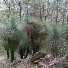 australian native plant seeds australian seed xanthorrhoea australis