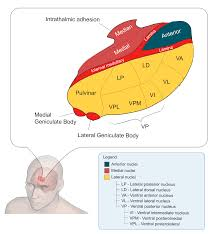 Anatomy And Physiology Of The Brain The Somatosensory System Boundless Anatomy And Physiology