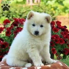 american eskimo dog washington state american eskimo puppies for sale greenfield puppies