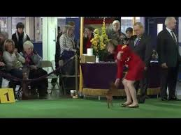 westminster bluetick coonhound 2016 the 93 best images about dog shows on pinterest dog show