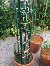 dragon fruit trellis help gardening forums