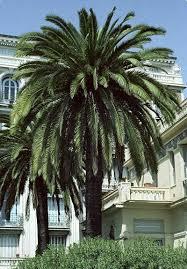 sylvester palm tree prices best 25 date palms ideas on jerusalem israel tel