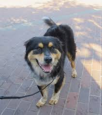 australian shepherd rottweiler mix puppy are ya ready huh huh the dogs of san franciscothe dogs of san
