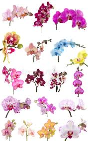 flower orchid orchids flowers phalaenopsis orchid flower stock photo image of