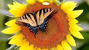 butterfly sunflower butterfly animals flower