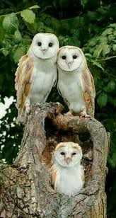 What Does A Barn Owl Look Like Lacey Barn Owl Birds Pinterest Owl Barn And Bird