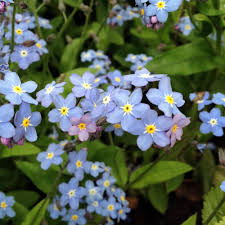 edible blue flowers forget me nots our edible flowers the flower deli