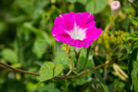 Morning Glory Climbing Plant - convolvulaceae climbing plants images u0026 stock pictures royalty