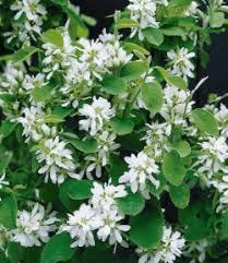amelanchier plants ornamental trees shrubs