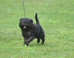 affenpinscher vs yorkshire terrier affenpinscher breed information characteristics u0026 heath problems