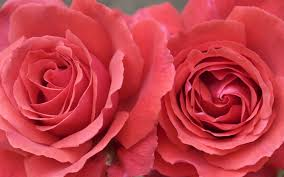 roses google search magic flowers pinterest flowers