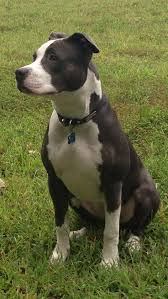 american pitbull terrier 1 a american staffordshire terrier wikipedia the free encyclopedia