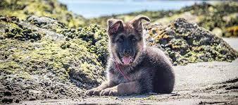 training a belgian sheepdog belgian malinois dog breed