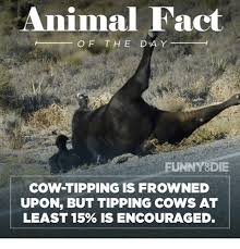 Funny Cow Memes - animal fact of the day funny die cow tipping is frowned upon but