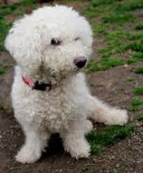 bichon frise fluffy this is what belle looks like sometimes when she likes to pose