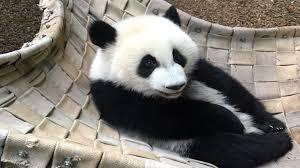 zoo atlanta u0027s giant pandas visitor u0027s guide wsb tv