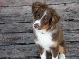 australian shepherd puppy 4 months wren minisoda shepherds