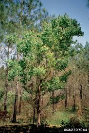 non native invasive plants tallowtree popcorntree nonnative invasive plants of southern